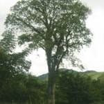 Jequitibá-açu é a árvore-símbolo da cidade do Rio de Janeiro