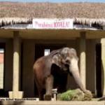 Zoo festeja aniversário da elefanta Koala