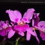 Orquídeas na Primavera 2011