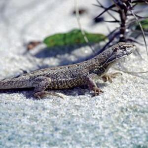 lagarto-branco-de-areia