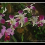 Orquídeas no Jardim – Maio de 2013